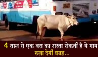 चार साल से एक बस का रास्ता रोक रही है ये गाय, जाने इसके पीछे की चोंका देने वाली वजह